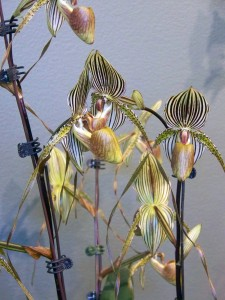 Orchid_show2